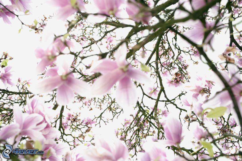 magnolia, białe kwiaty, różowe kwiaty, konary