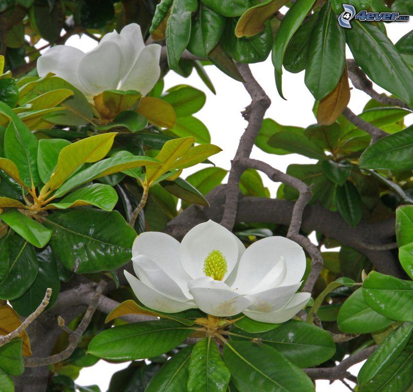 magnolia, białe kwiaty