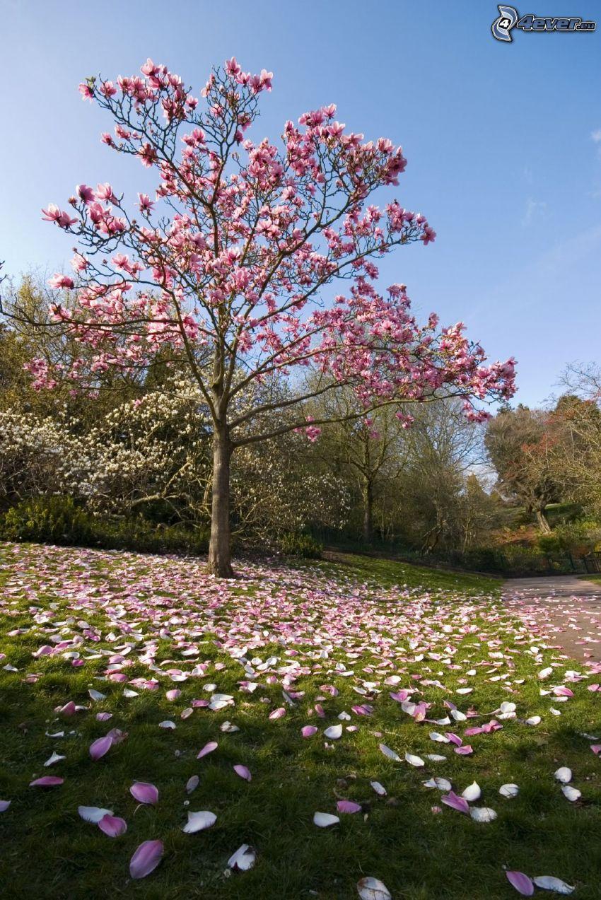 magnolia, różowe drzewo, płatki