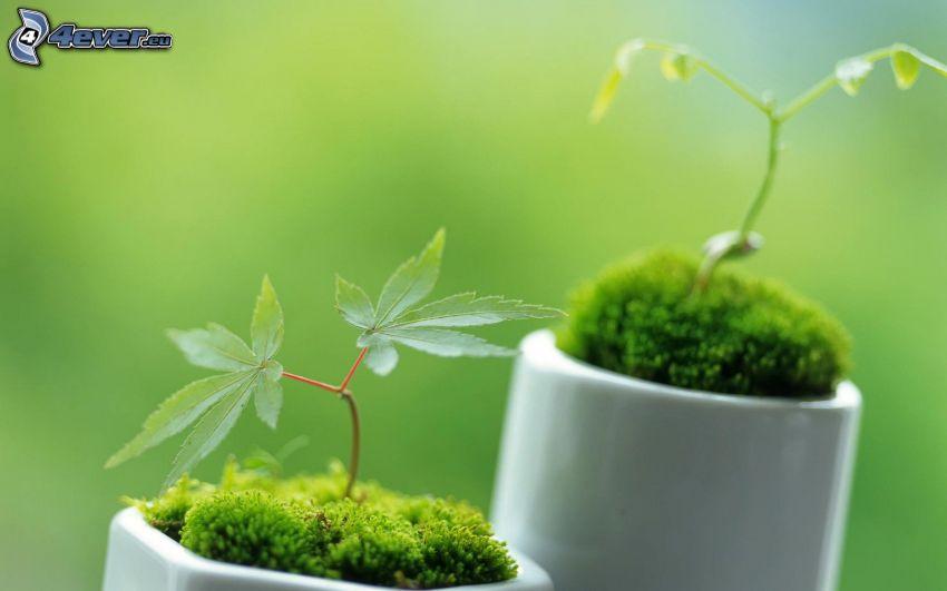 marihuana, rośliny