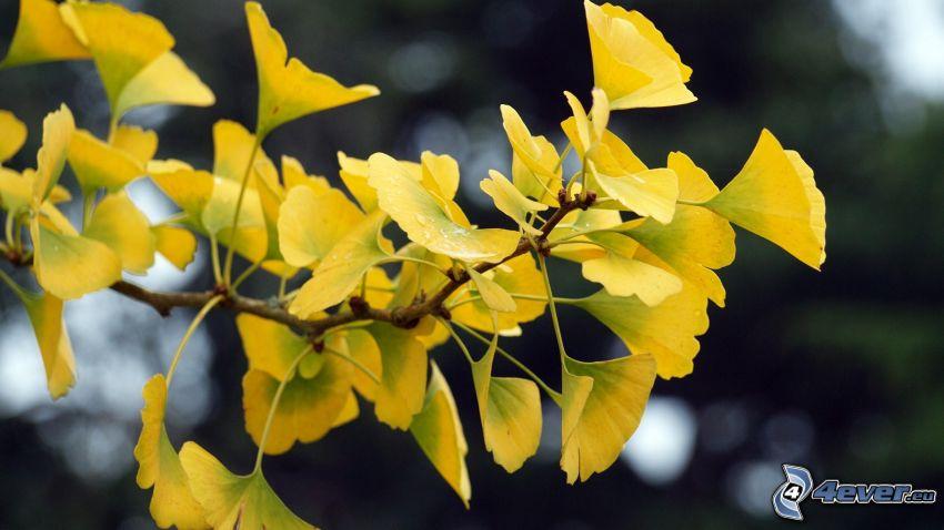 miłorząb dwuklapowy, żółte liście, gałązka