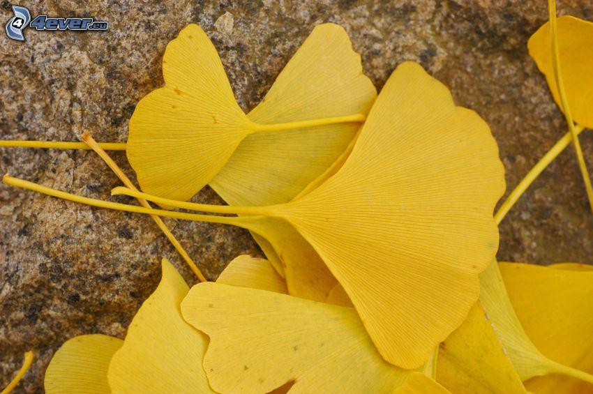 miłorząb dwuklapowy, żółte liście