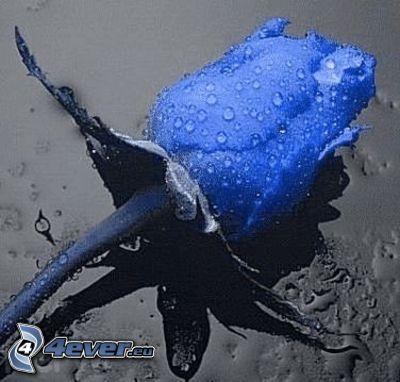 niebieska róża, zroszony kwiat, deszcz, krople