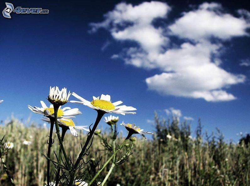 niezapominajka, suchy kwiat, niebo
