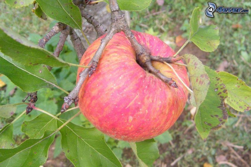 jabłko, konar, liście