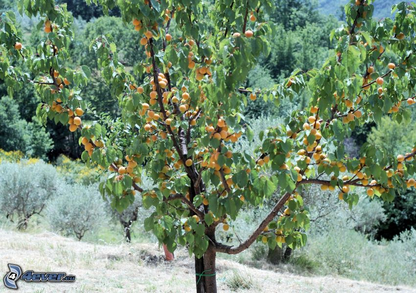 morele, morelowe drzewo