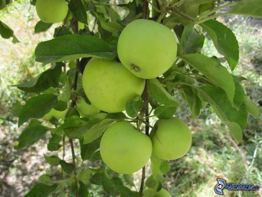 zielone jabłka, konar