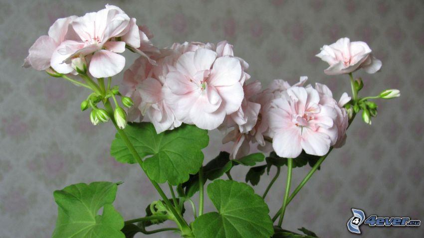 pelargonia, białe kwiaty