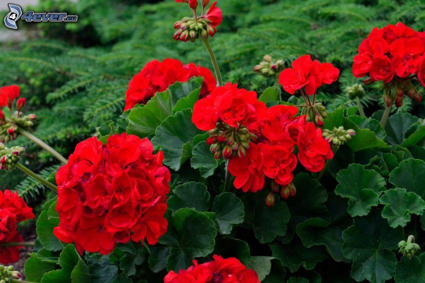 pelargonia, czerwone kwiaty