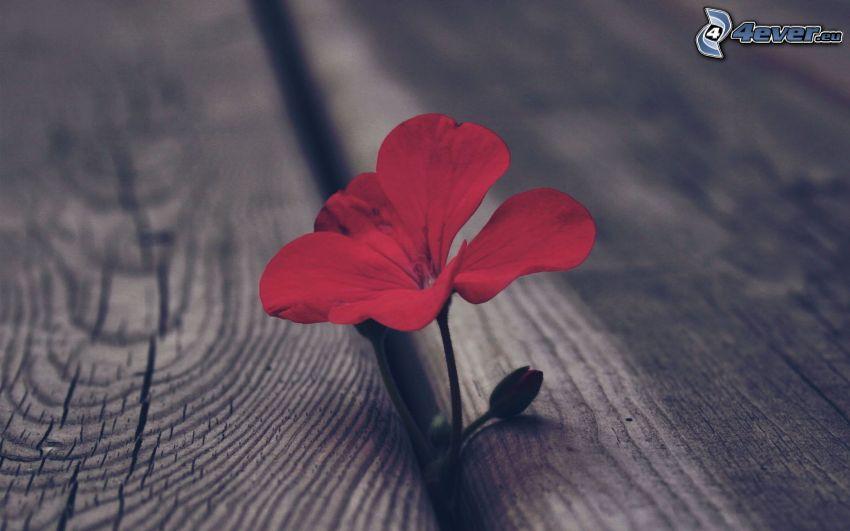 pelargonia, czerwony kwiat, drewno