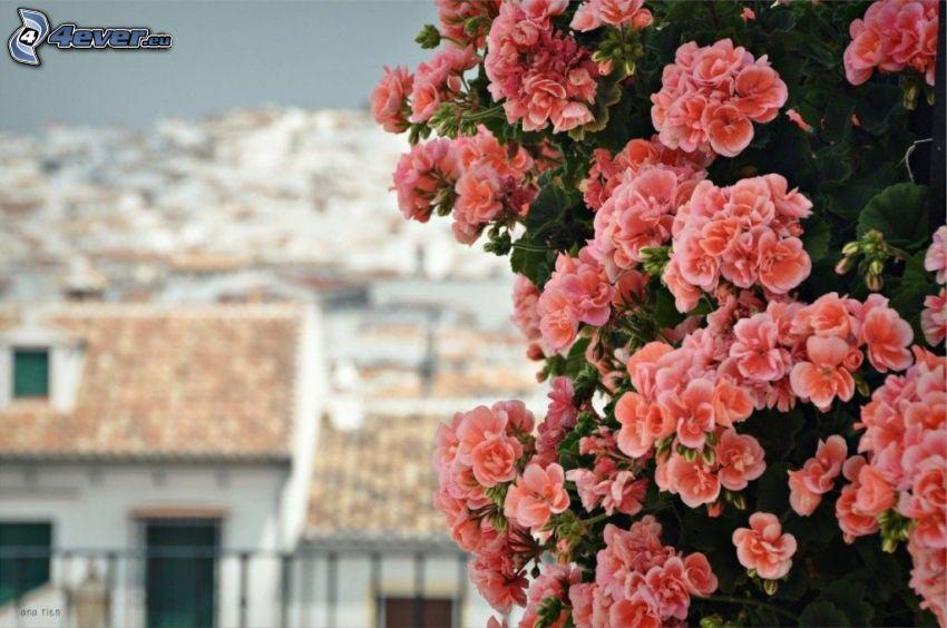 pelargonia, pomarańczowe kwiaty, domy