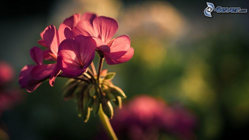 pelargonia, różowy kwiat