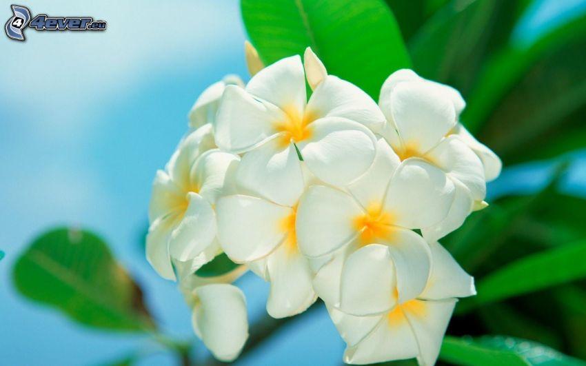 plumeria, białe kwiaty