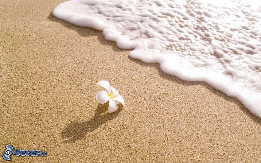 plumeria, biały kwiat, plaża piaszczysta, morze