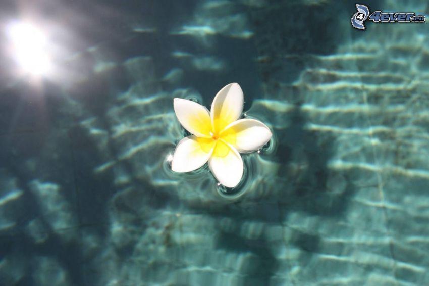 plumeria, biały kwiat, powierzchnia wody
