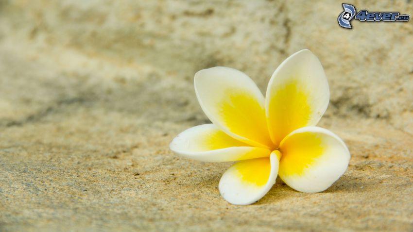 plumeria, żółty kwiat