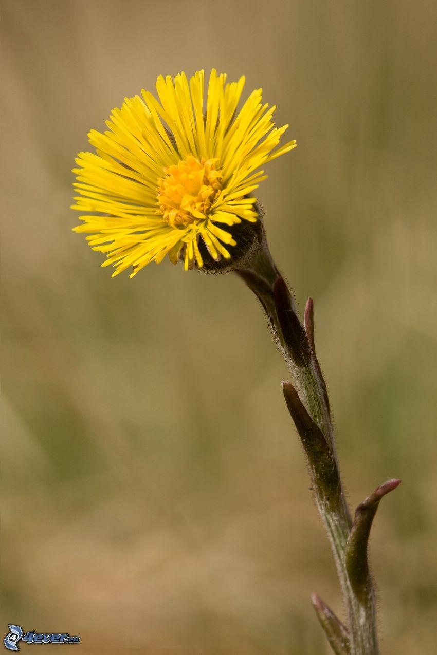 Podbiał pospolity, żółty kwiat