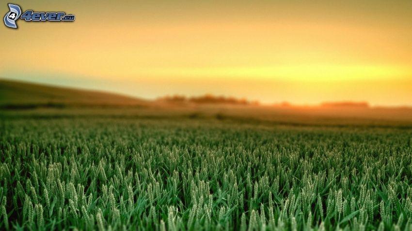 pole, żółte niebo