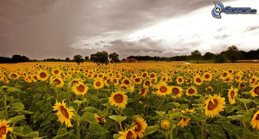 pole słoneczników, ciemne chmury