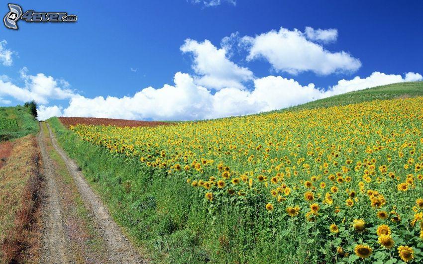 pole słoneczników, polna droga, chmury