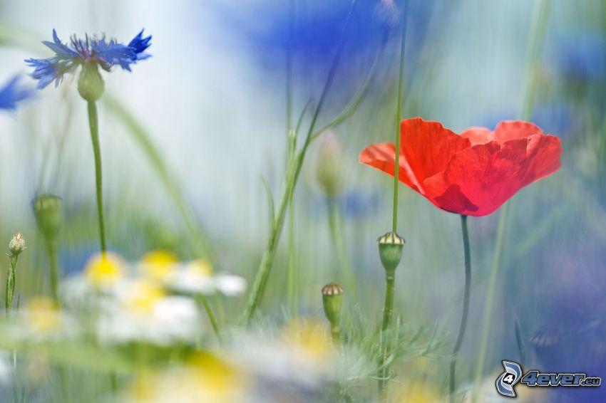 polne kwiaty, mak