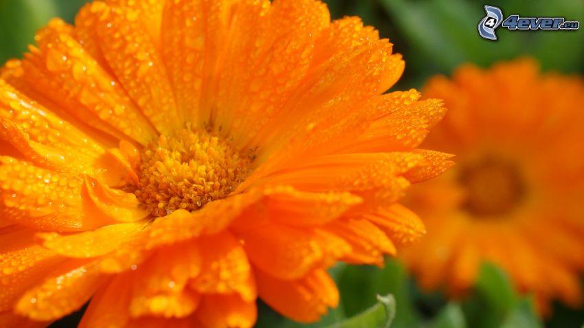 pomarańczowe kwiaty, zroszony kwiat