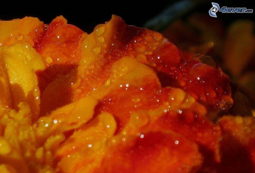 pomarańczowy kwiat, krople wody