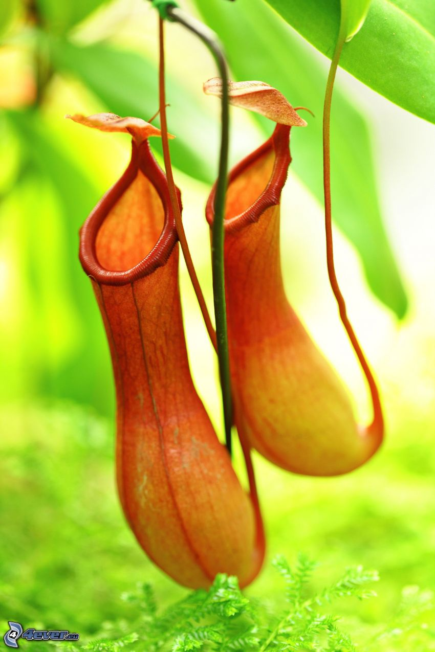 roślina mięsożerna, pomarańczowe kwiaty