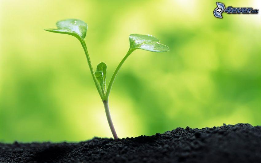 roślinka, ziemia