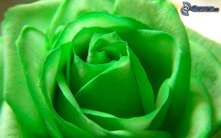 róża, zielony