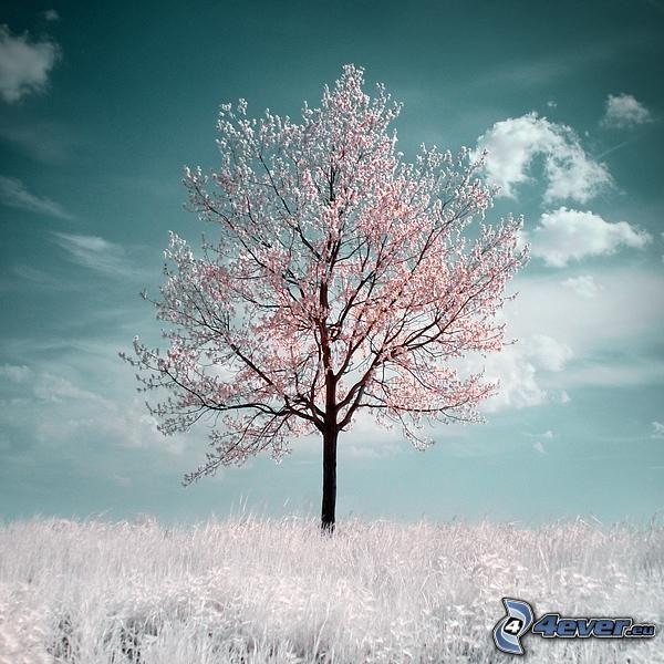 rozkwitnięte drzewo, czereśnia, samotne drzewo