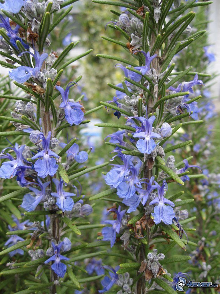rozmaryn, niebieskie kwiaty