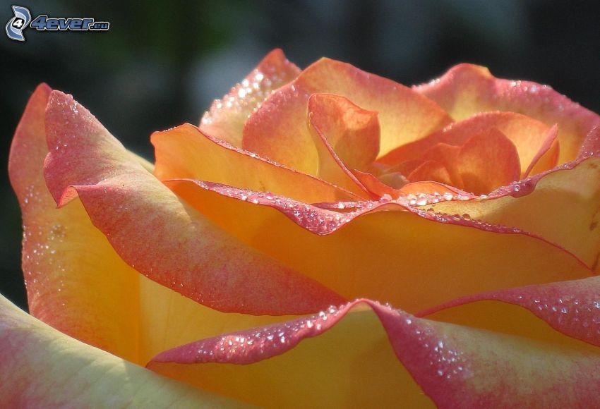 różowa róża, krople, makro