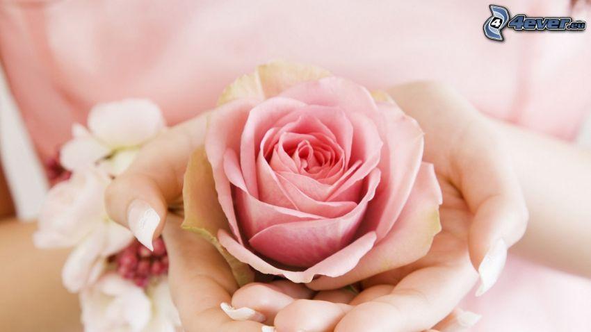 różowa róża, ręce