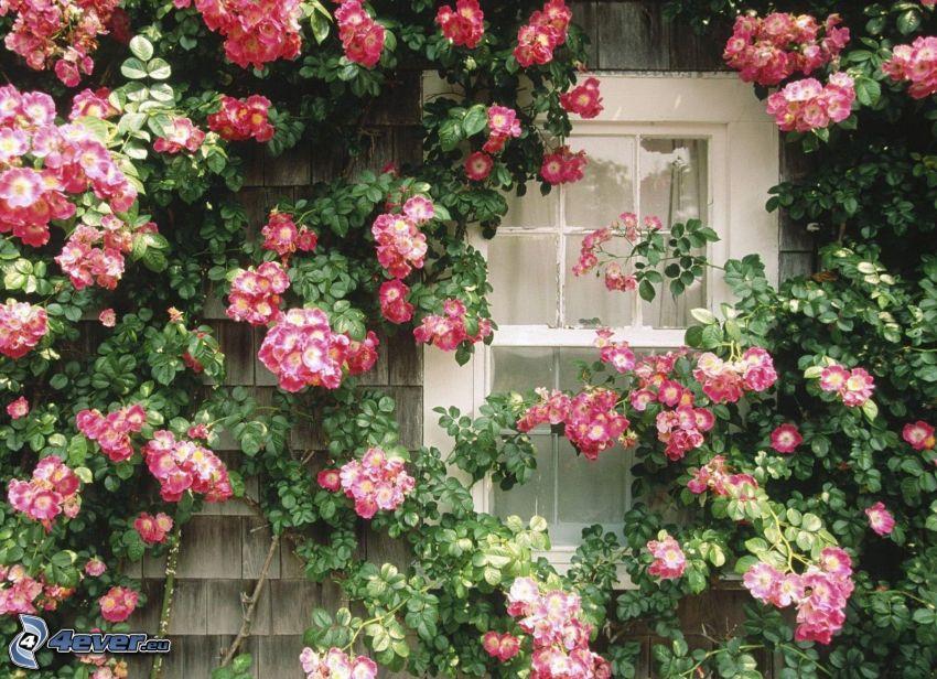 różowe kwiaty, okno
