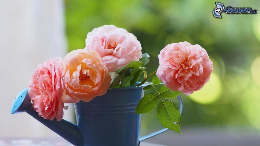 różowe róże, konewka