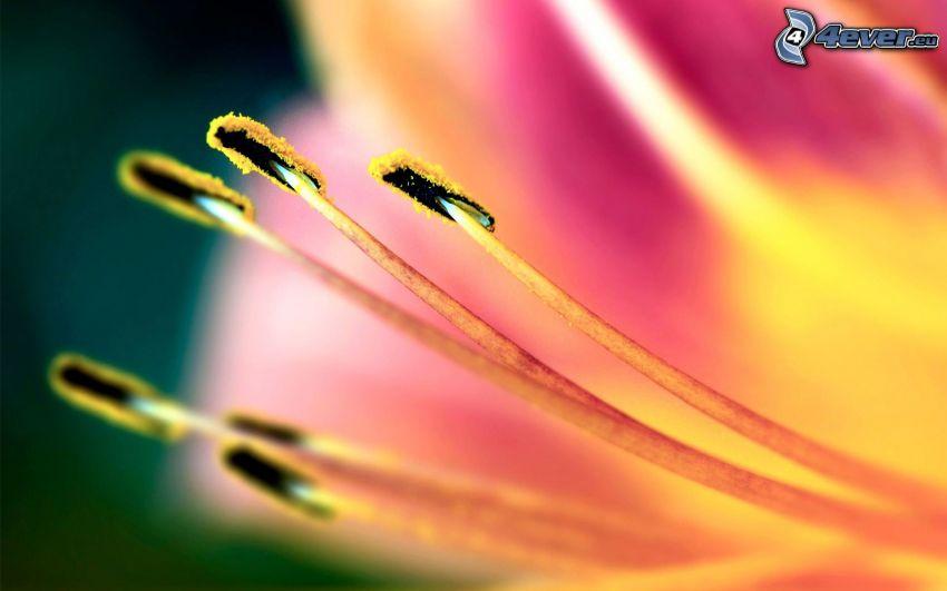 różowy kwiat, makro