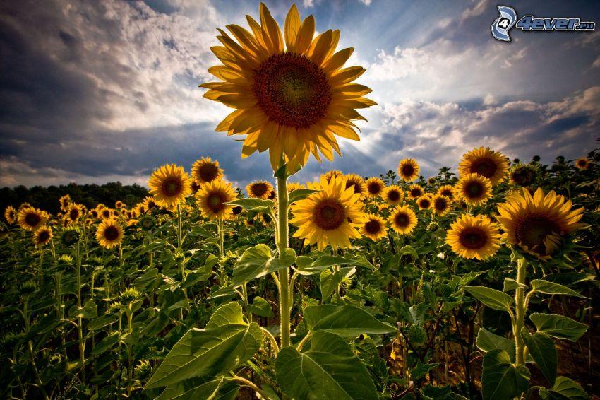 słoneczniki, promienie słoneczne