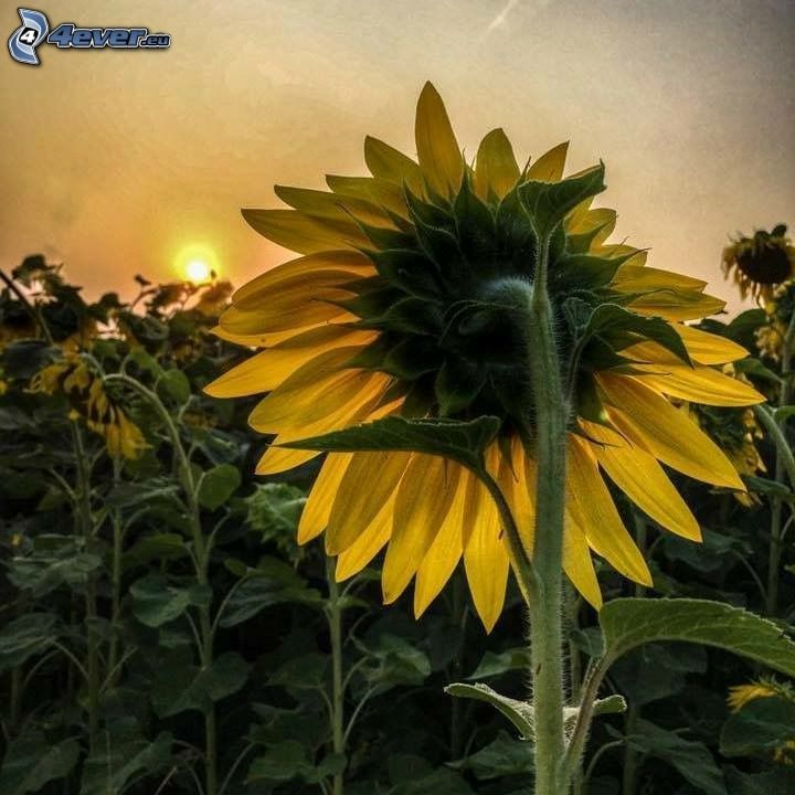 słoneczniki, zachód słońca
