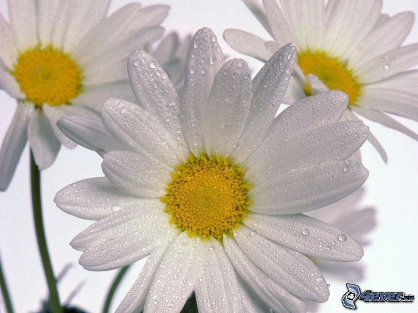 stokrotki, białe kwiaty
