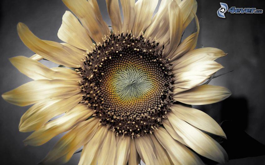 suchy kwiat, słonecznik