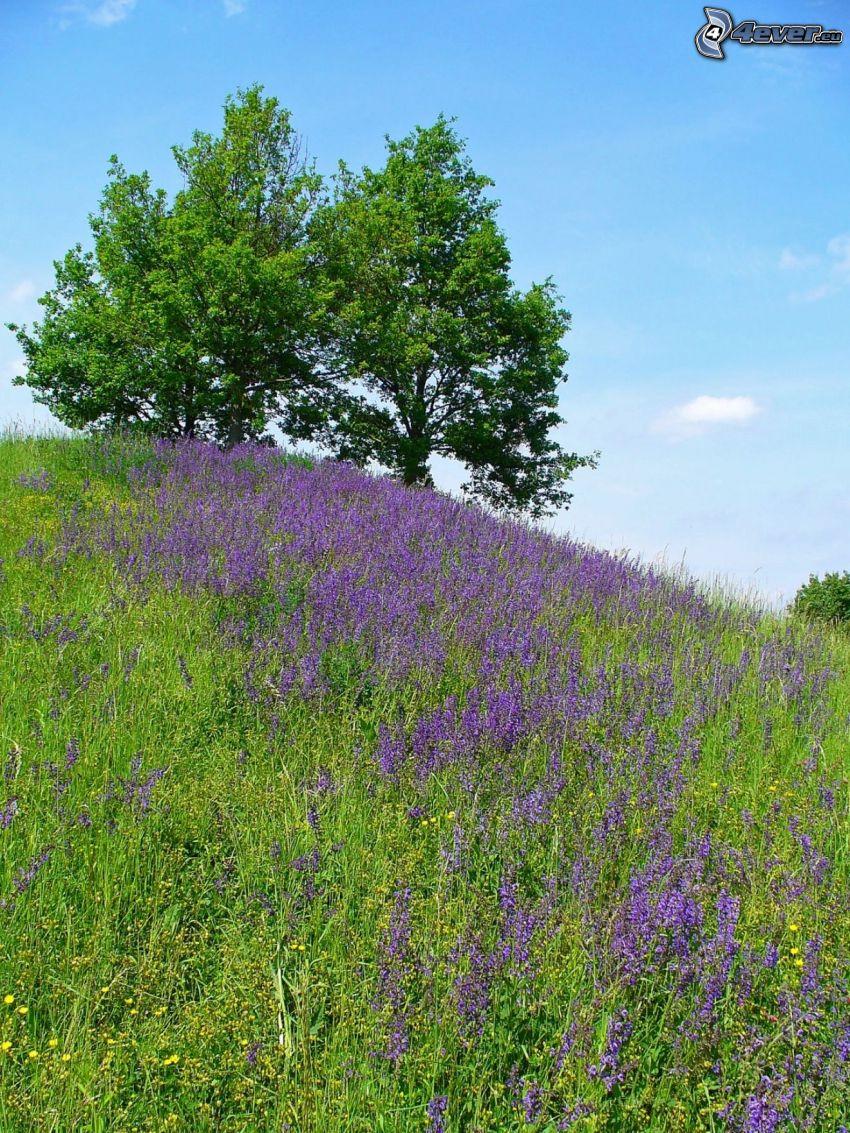 szałwia łąkowa, fioletowe kwiaty, łąka, drzewa