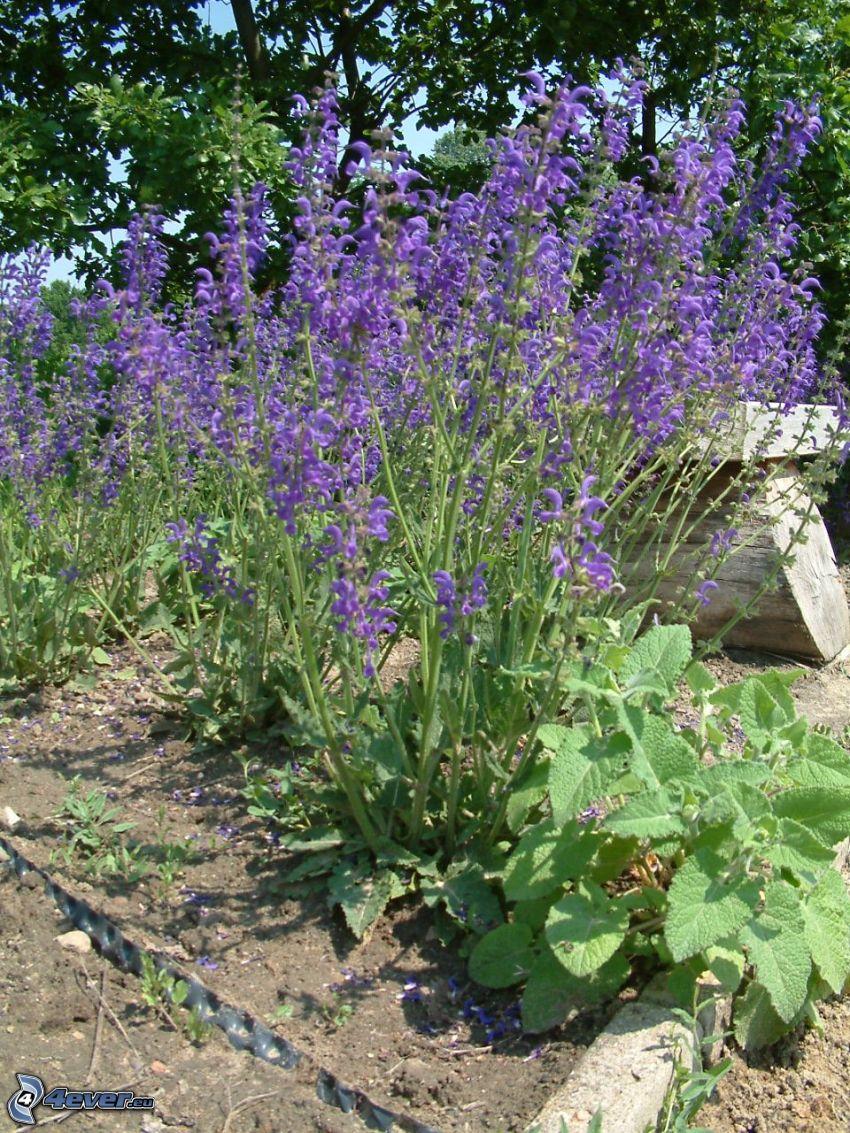 szałwia łąkowa, fioletowe kwiaty, ławeczka