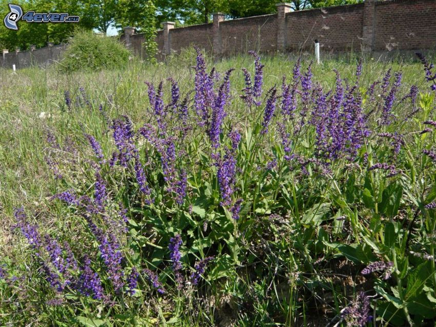 szałwia łąkowa, fioletowe kwiaty, mur