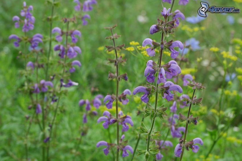 szałwia łąkowa, rzepak, fioletowe kwiaty