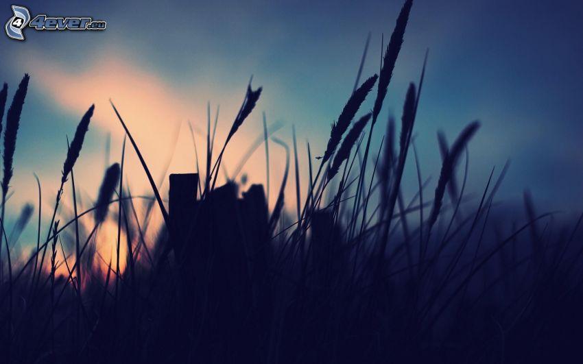 wysoka trawa, niebo o zmroku