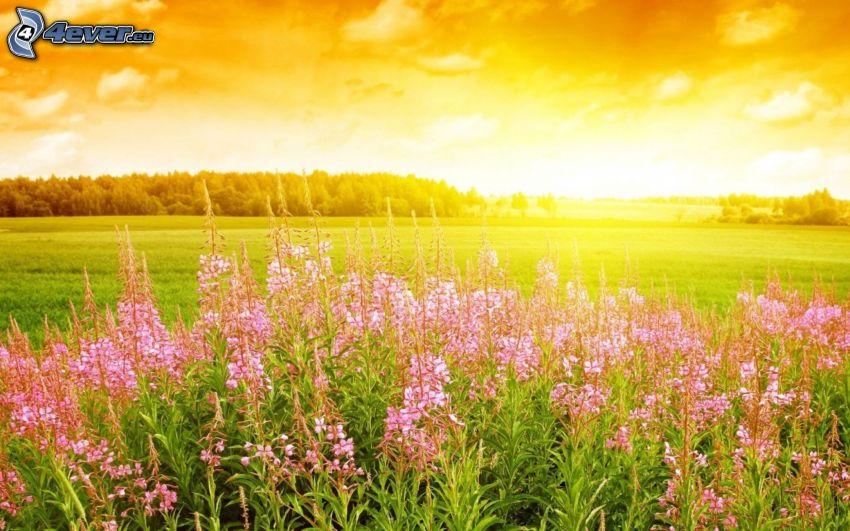 zachód słońca na łące, różowe kwiaty, żółte niebo