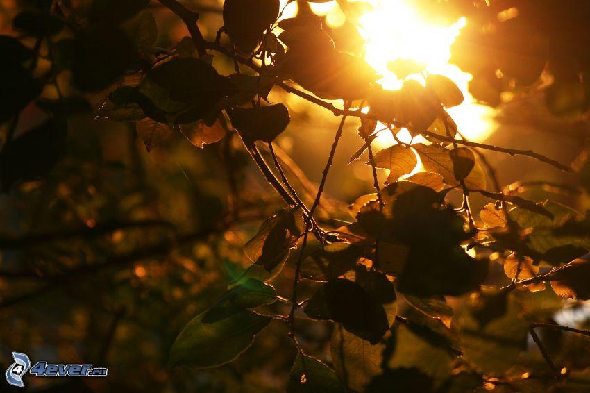 zachód słońca za drzewem, konary, liście