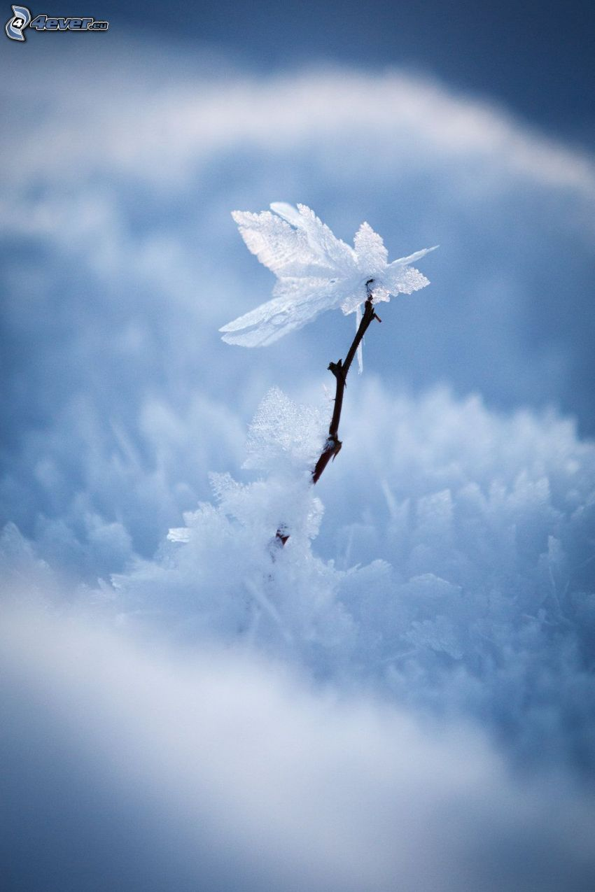 zaśnieżna gałąź