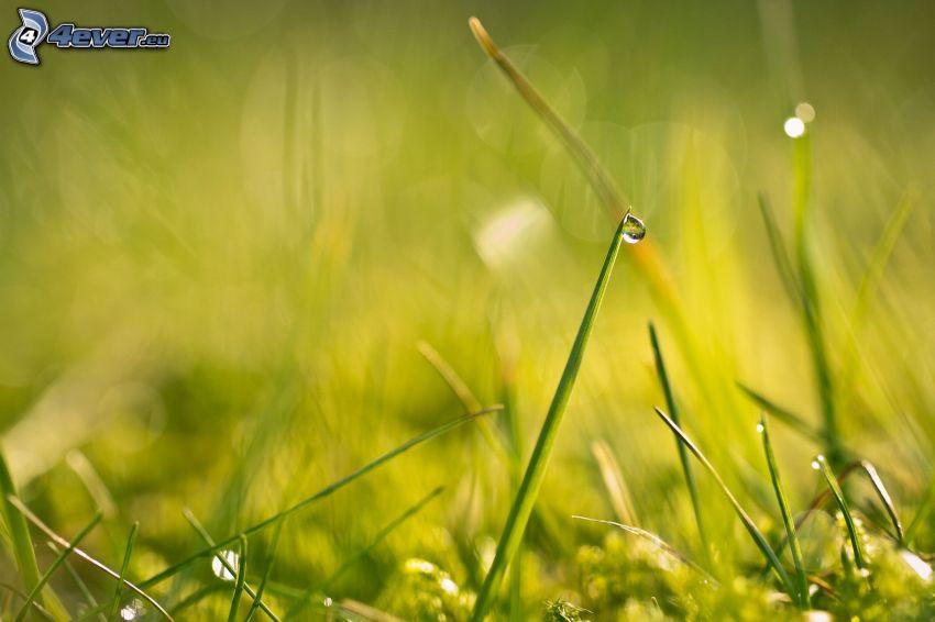 źdźbło trawy, kropla wody